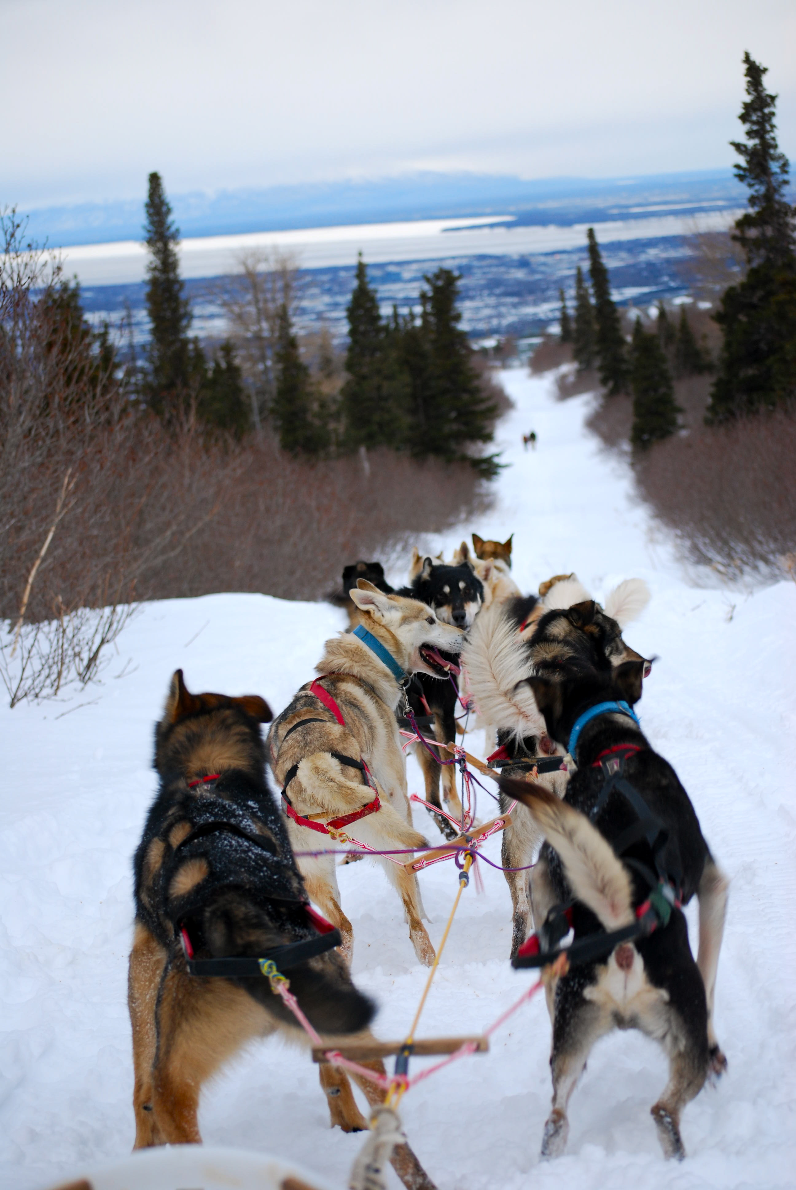 Anchorage Dog Sledding Tour Mushes Well With Ak Fam Ak On The Go